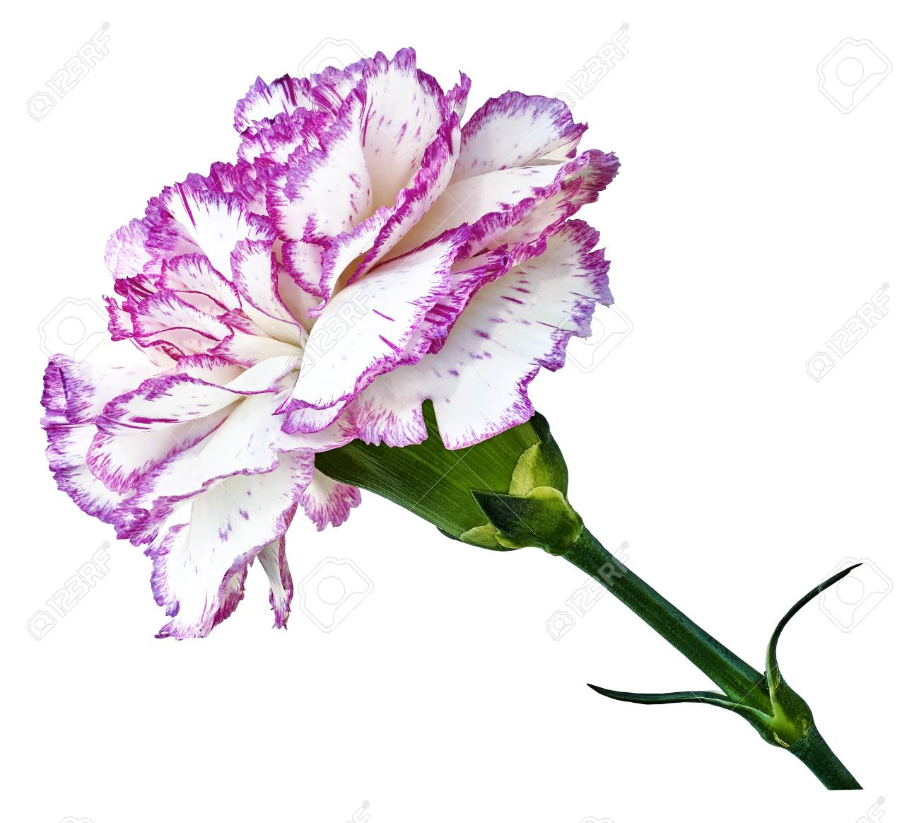 Pink White Carnation Flower On A White Isolated Background Stock