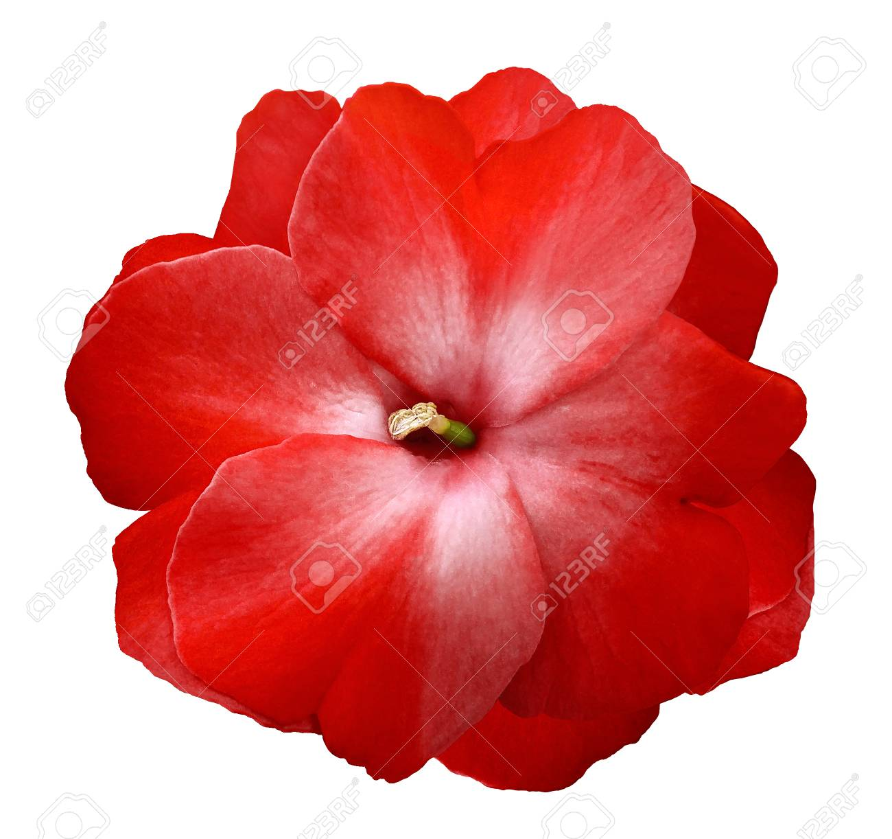 Flower Red Violets On A White Isolated Background . Stock Photo, Picture And Royalty Free Image. Image 104606867.