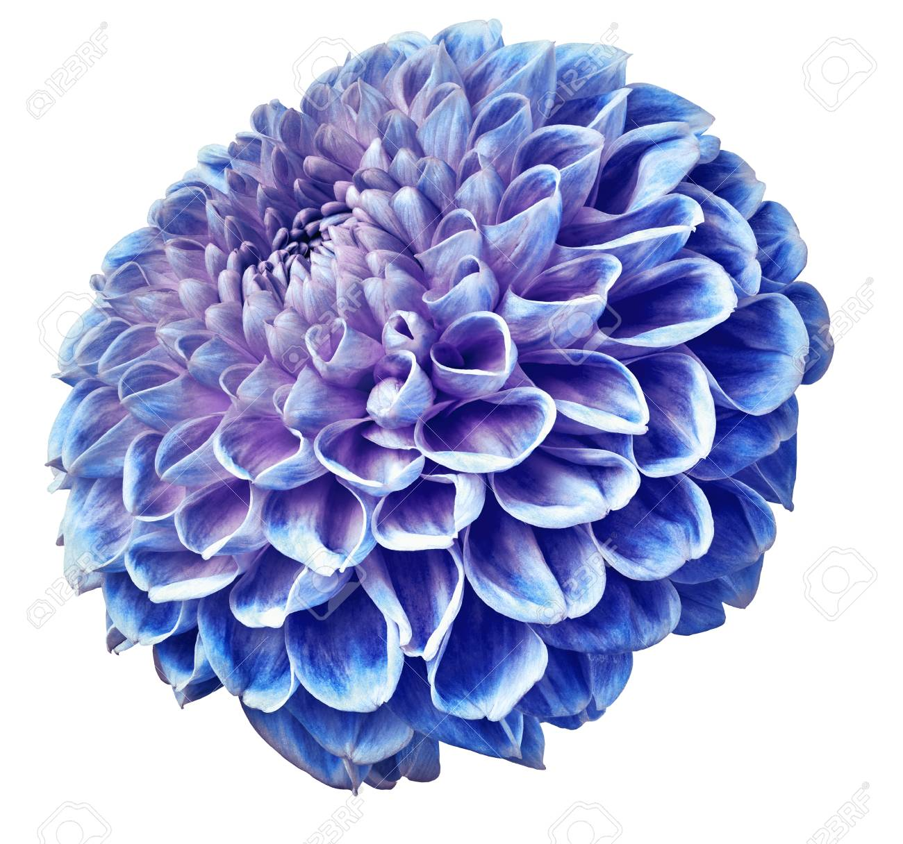 Bue Purple Dahlia Flower On A White Isolated Background Closeup Stock Photo Picture And Royalty Free Image Image 111427110