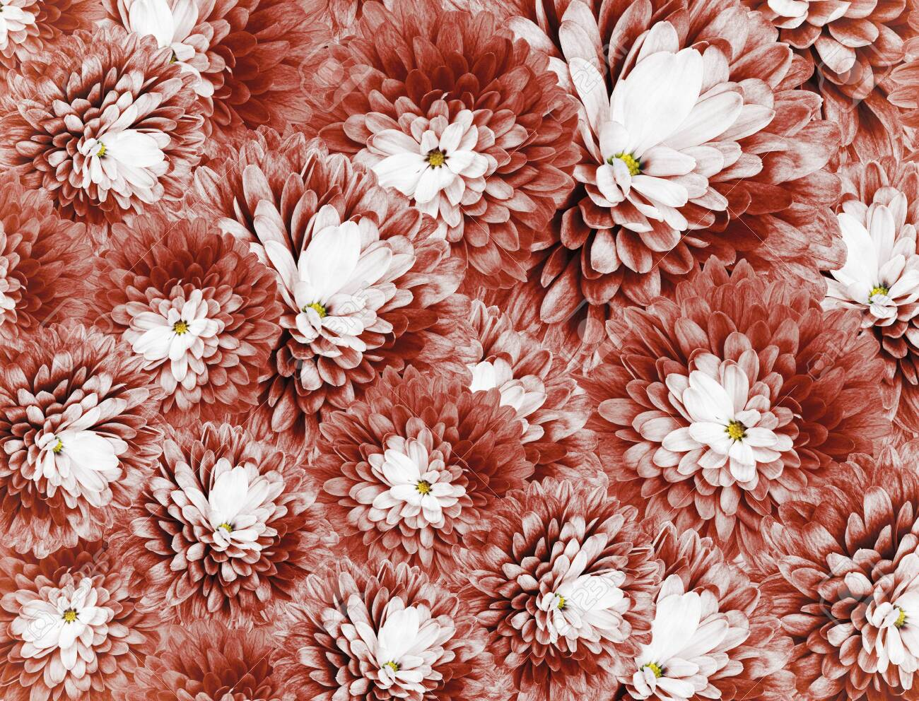 Chrysanthemums Flowers Red Background Floral Collage Flower