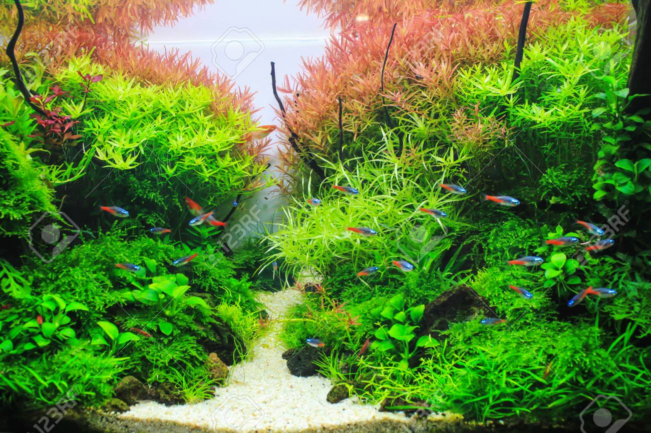 Beautiful Planted Aquarium Red Aquatic Plant Surrounded By Tropical