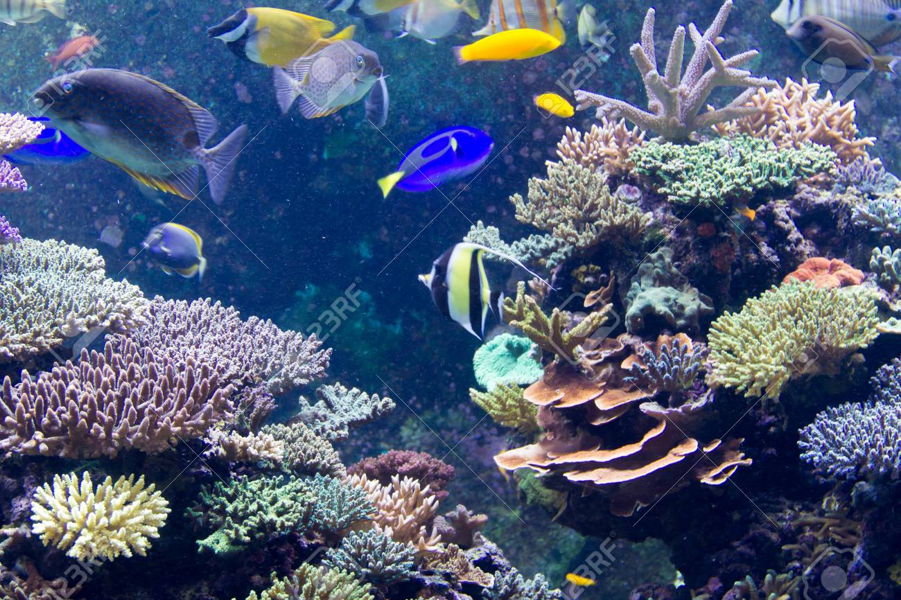 Moorish Idol In Sps Reef Tank Sea Aquarium Stock Photo Picture