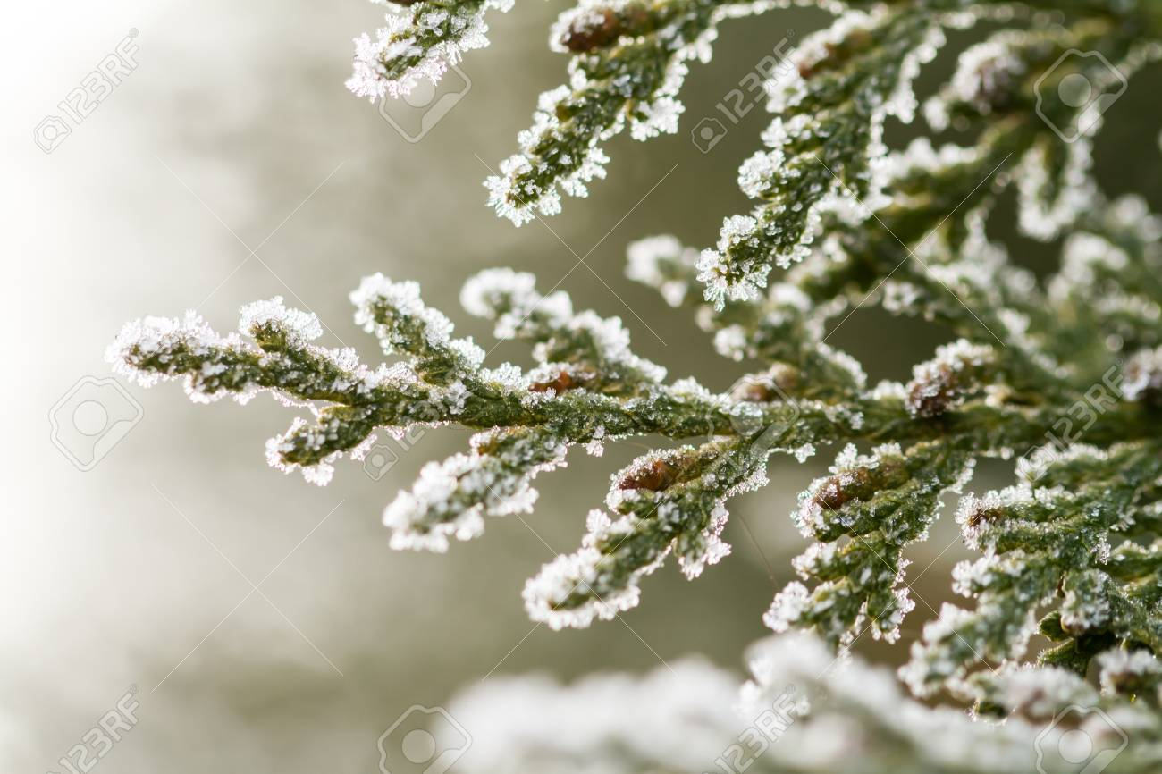 white hoarfrost crystal on green thuja twig Stock Photo - 17154861