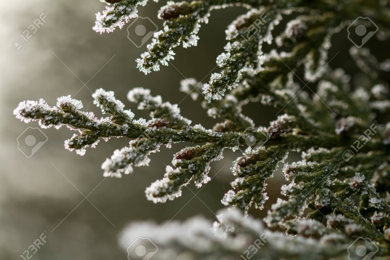 white hoarfrost crystal on green thuja twig Stock Photo - 20105677