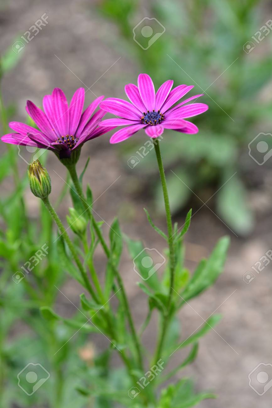 Close Up Of A Pink South African Daisy Flower Latin Name