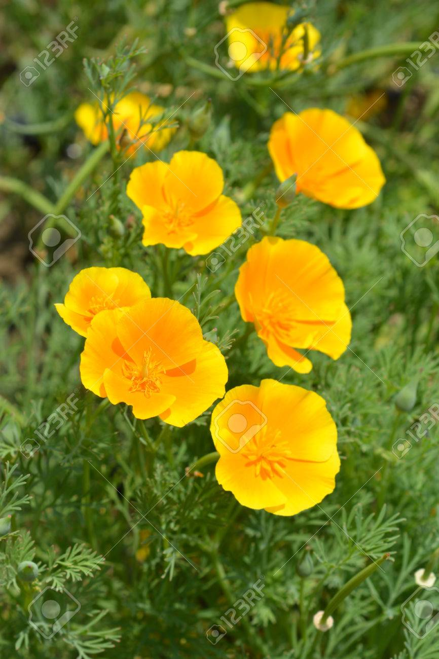 Close Up Of A Golden Poppy Flowers Latin Name Eschscholzia Stock