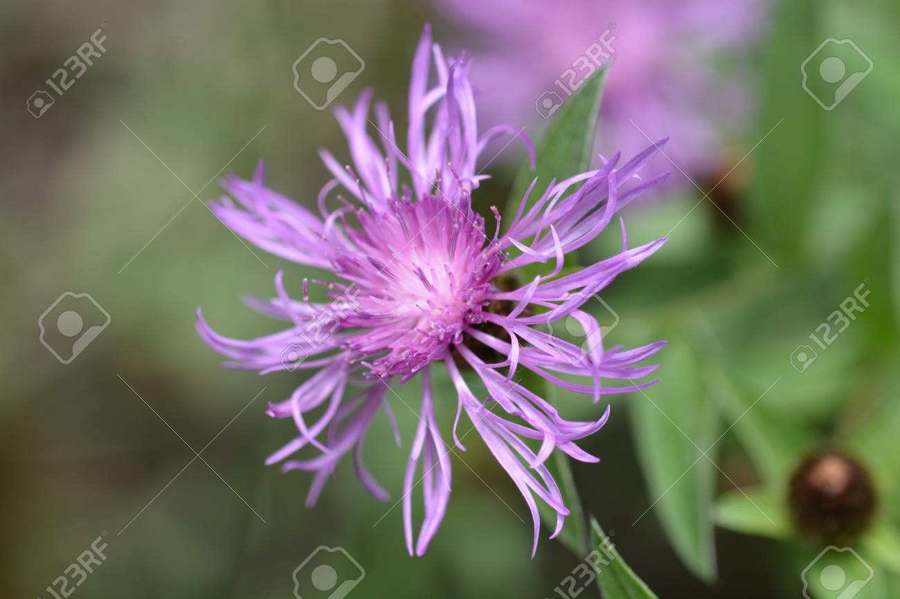 Close up of purple flower latin name centaurea pannonica stock close up of purple flower latin name centaurea pannonica stock photo 101256384 mightylinksfo