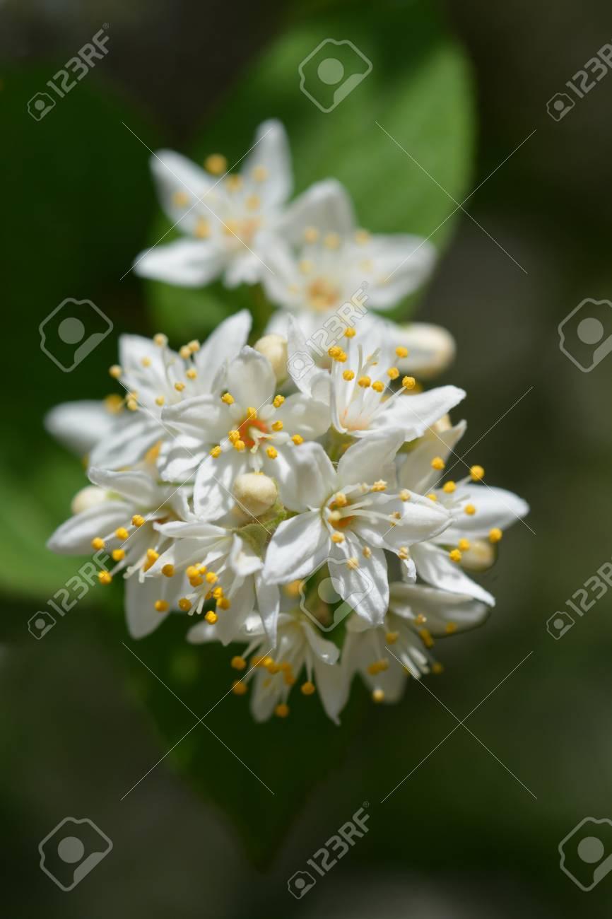 Close Up Of Deutzia White Flowers - Latin Name - Deutzia Sieboldiana ...