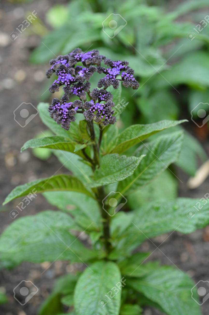 Heliotrope Marine Dark Blue Flowers Latin Name Heliotropium