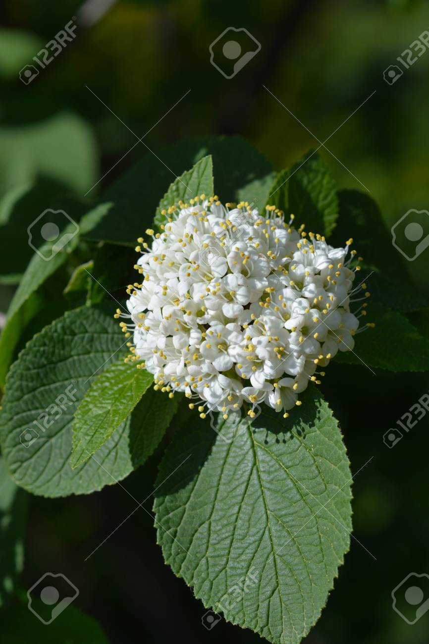 Wayfaring Tree White Flowers Latin Name Viburnum Lantana Stock