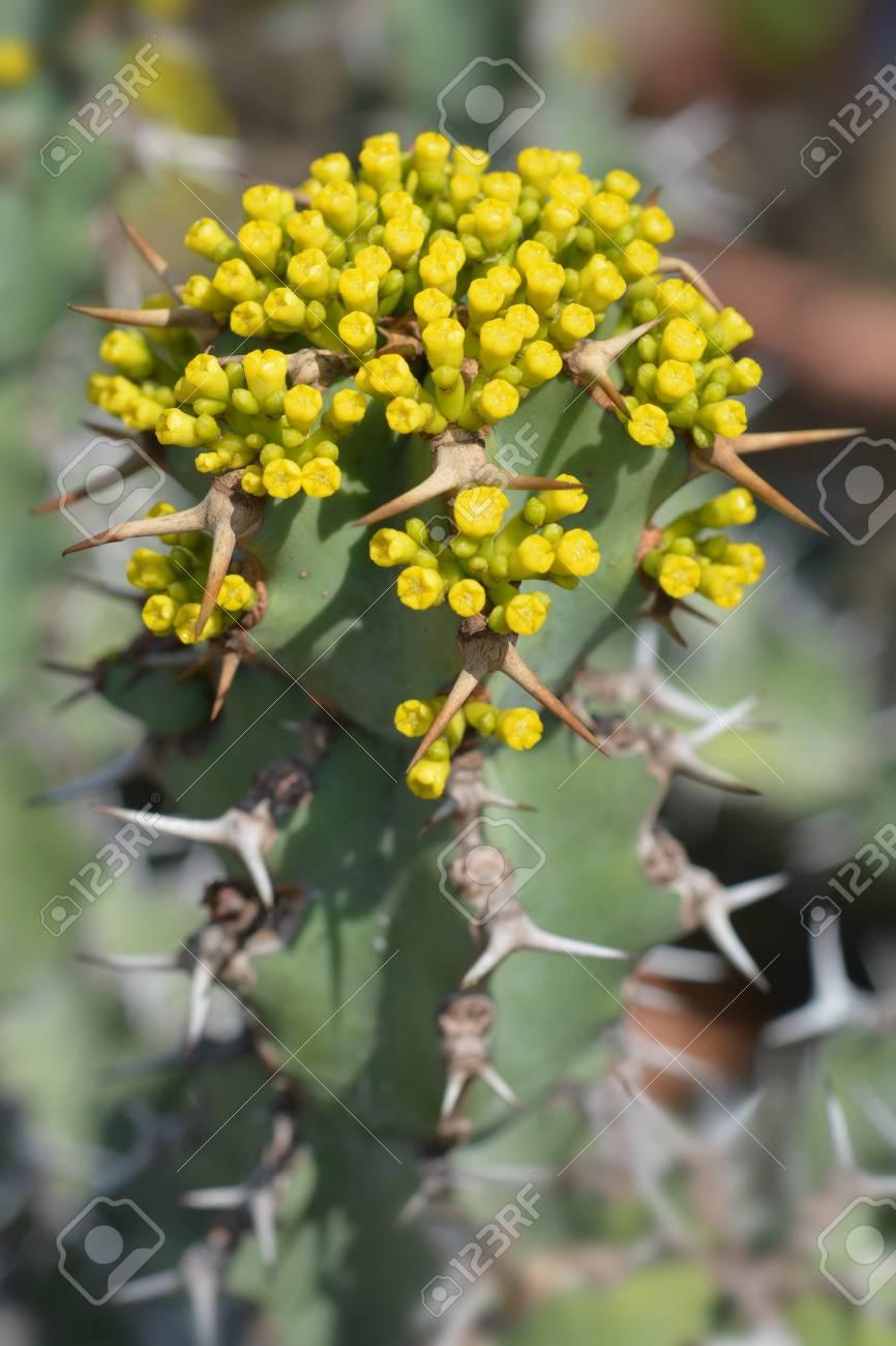 Poison Tree Yellow Flowers Latin Name Euphorbia Virosa Wild