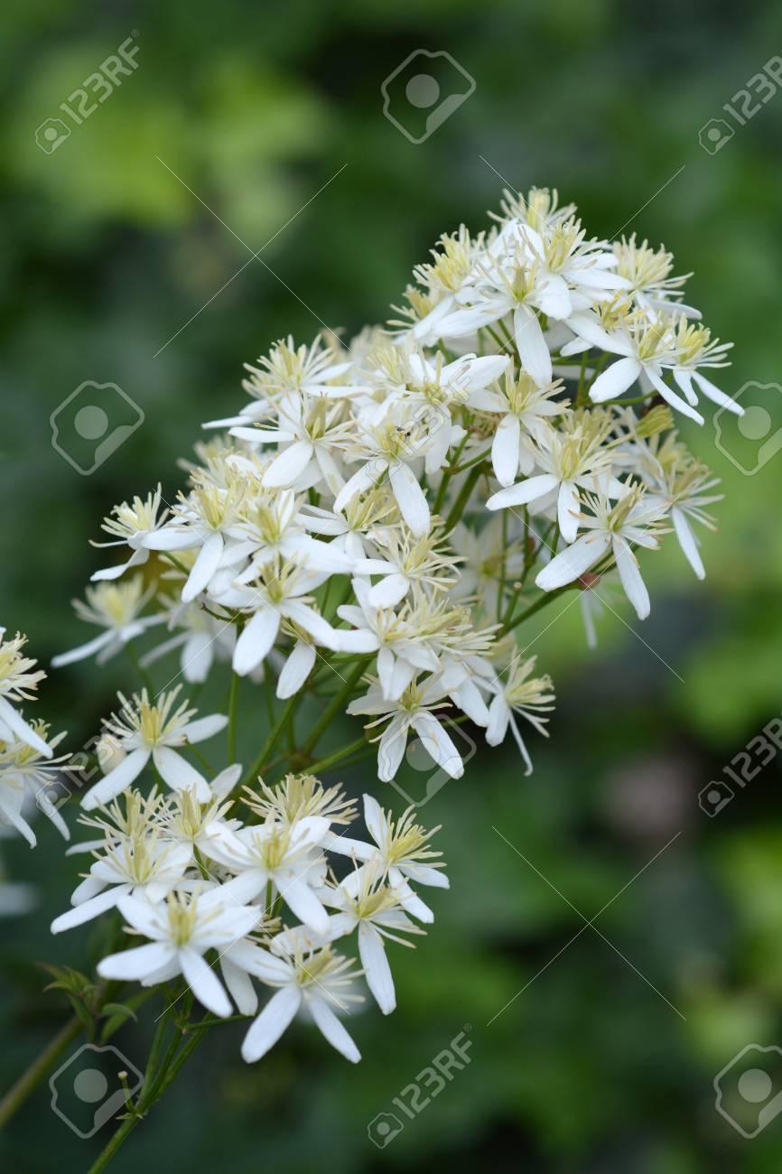 Erect Clematis White Flowers - Latin Name - Clematis Recta Stock ...