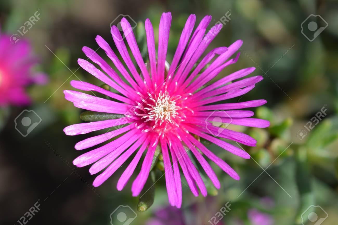 Trailing Iceplant Pink Flower Latin Name Delosperma Cooperi