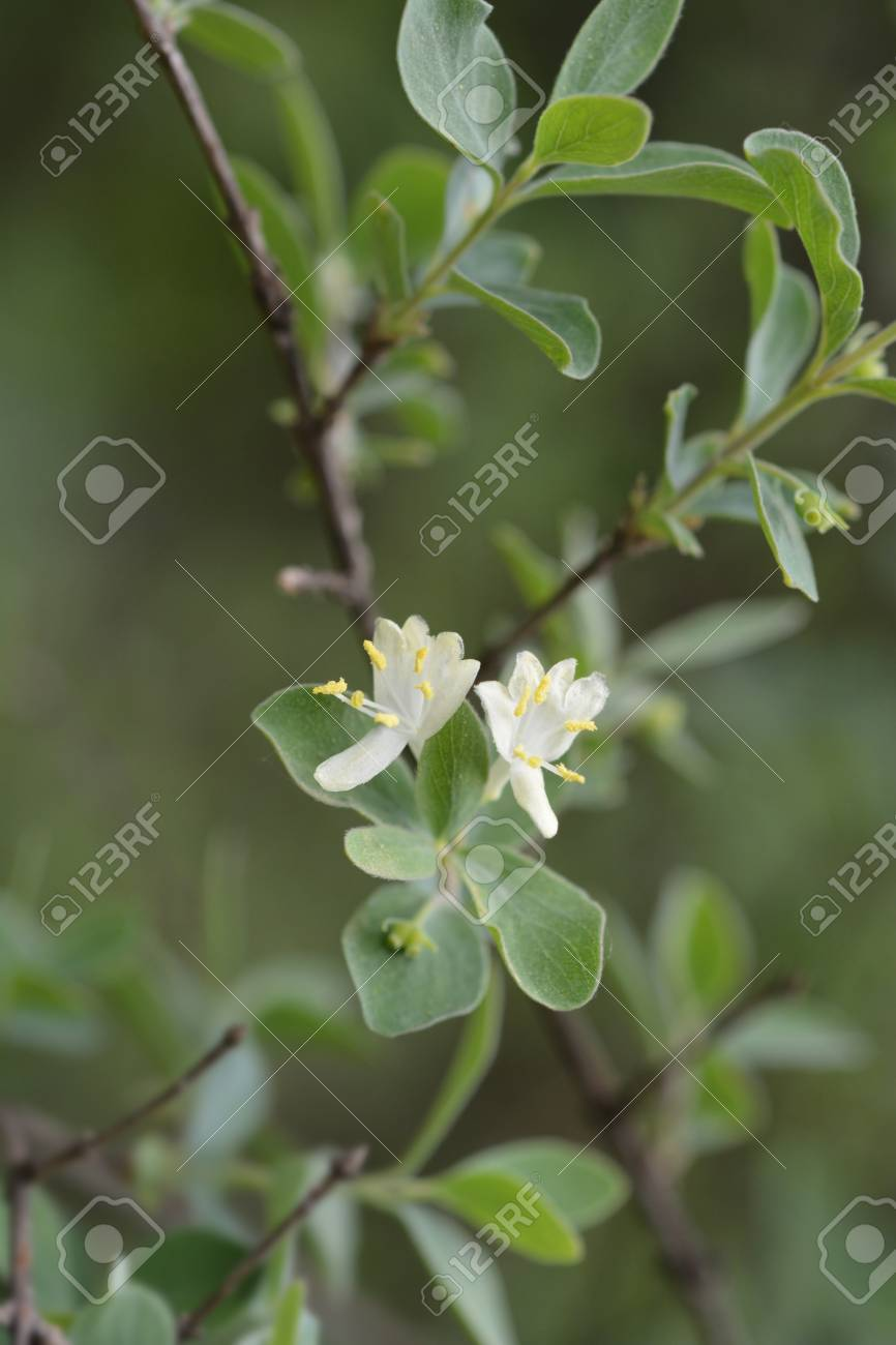 Small Leaved Honeysuckle White Flowers Latin Name Lonicera