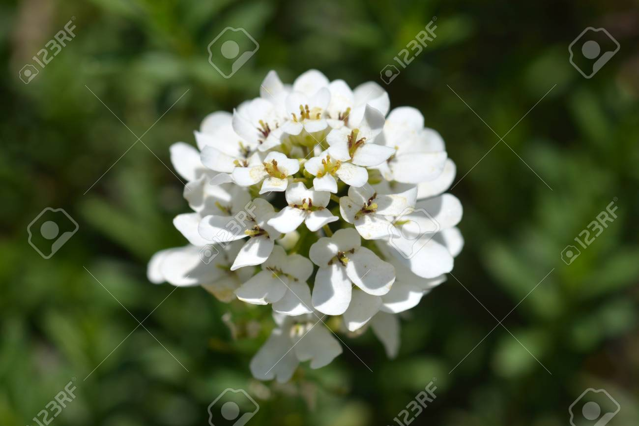 Evergreen Candytuft White Flowers Close Up Latin Name Iberis