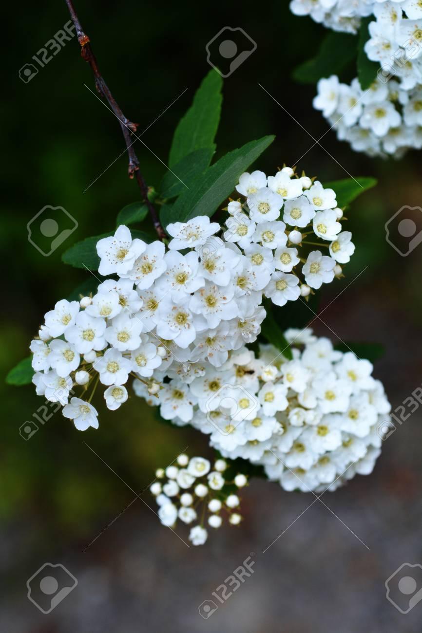 Reeves Spirea White Flowers - Latin Name - Spiraea Cantoniensis ...