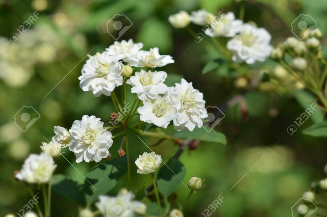 Double Reeves Spirea White Flowers Latin Name Spiraea