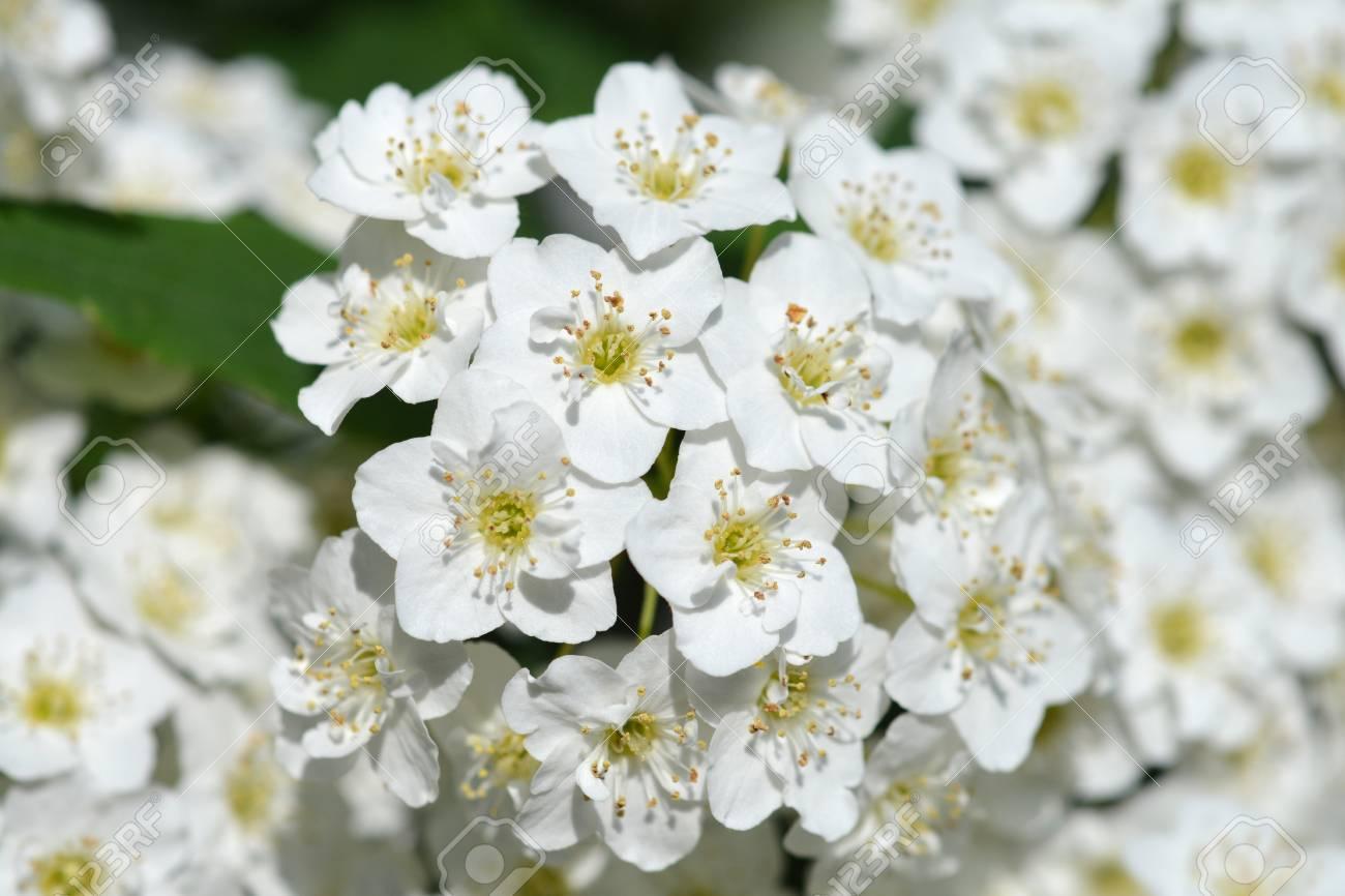 Reeves Spirea White Flowers Latin Name Spiraea Cantoniensis
