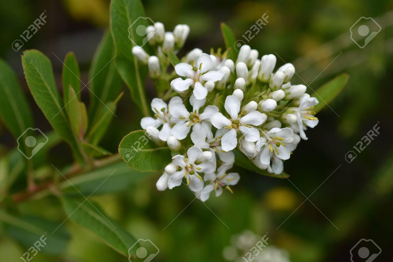 Cloven Gum Box White Flowers Latin Name Escallonia Bifida Stock