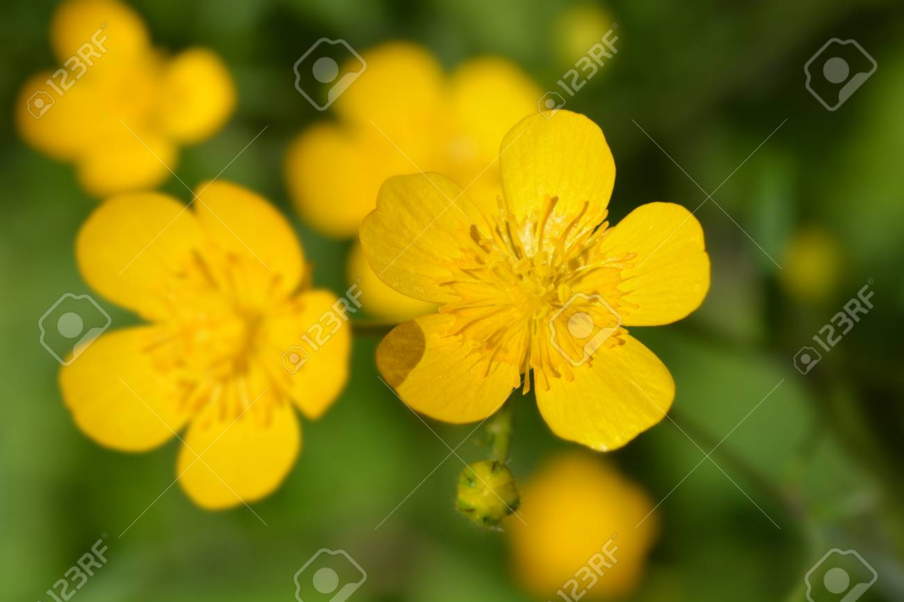 Creeping buttercup yellow flowers latin name ranunculus repens creeping buttercup yellow flowers latin name ranunculus repens stock photo 104819679 mightylinksfo