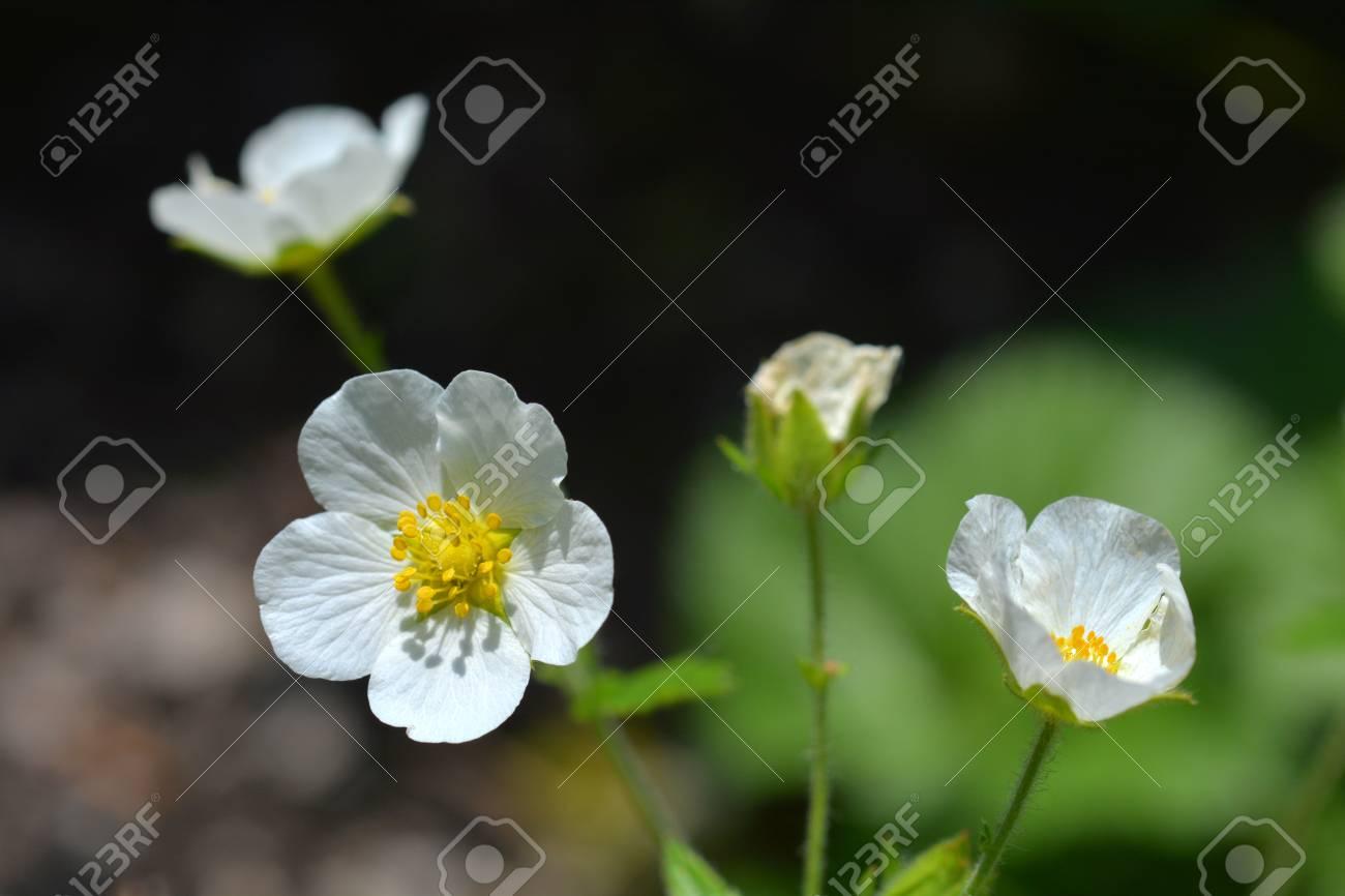Rock Cinquefoil White Flowers - Latin Name - Potentilla Rupestris ...