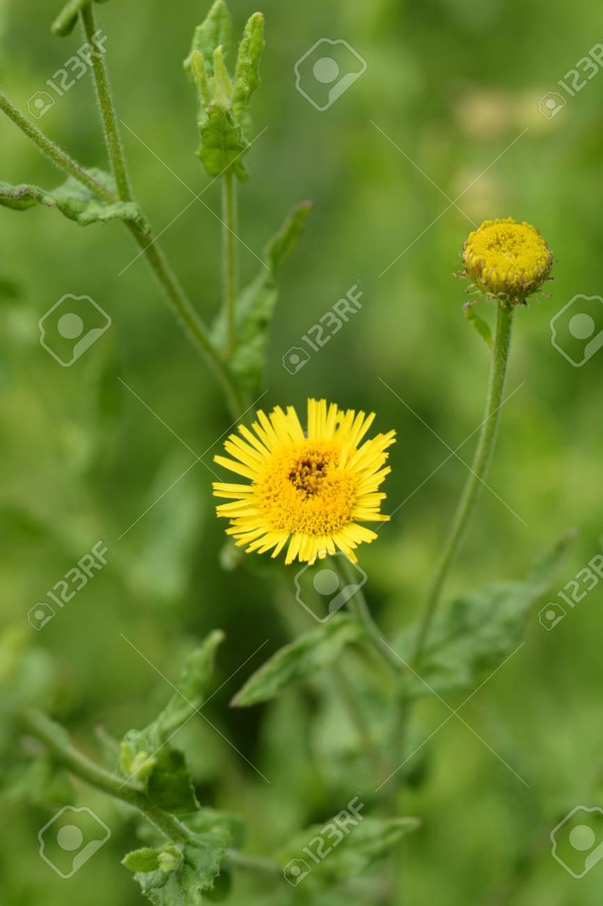 Small Fleabane Yellow Flower Latin Name Pulicaria Vulgaris Stock
