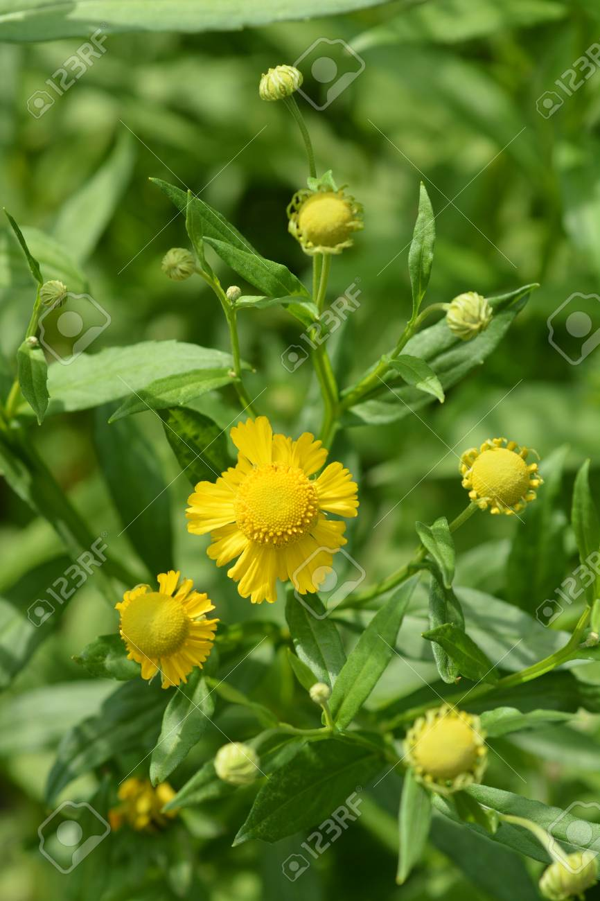 Common Sneezeweed Yellow Flowers Latin Name Helenium Autumnale