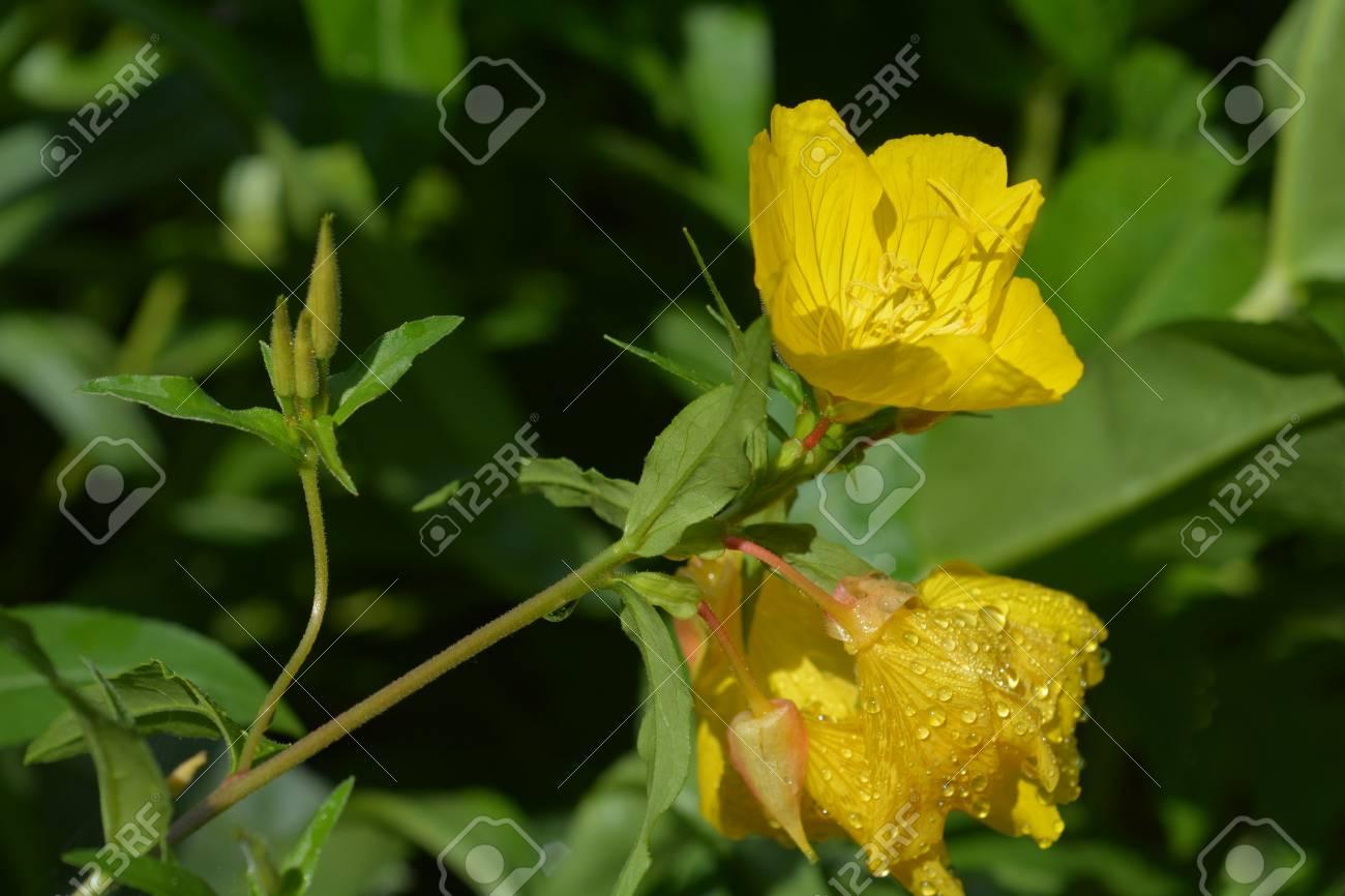 Common Sundrops Yellow Flowers Latin Name Oenothera Fruticosa
