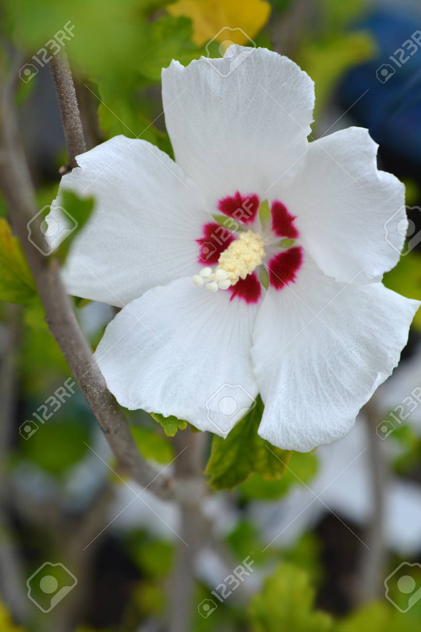 Red Heart Rose Of Sharon Latin Name Hibiscus Syriacus Red Heart