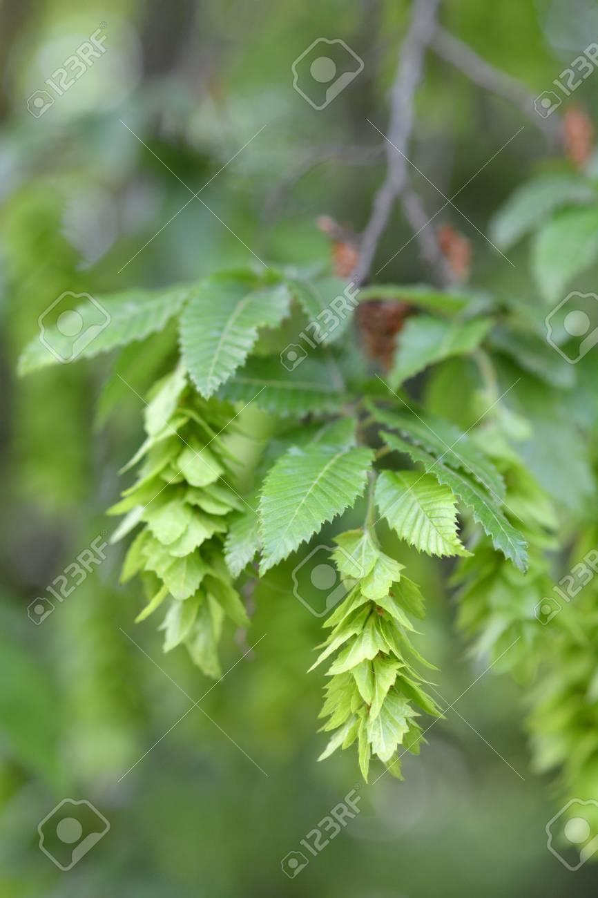 20 ORIENTAL HORNBEAM SEEDS Carpinus orientalis