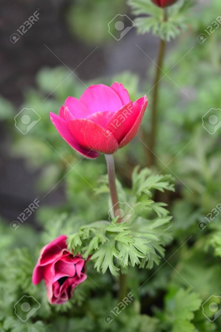 Crown anemone Animo Blue - Latin name - Anemone coronaria Animo Pink - 140129719