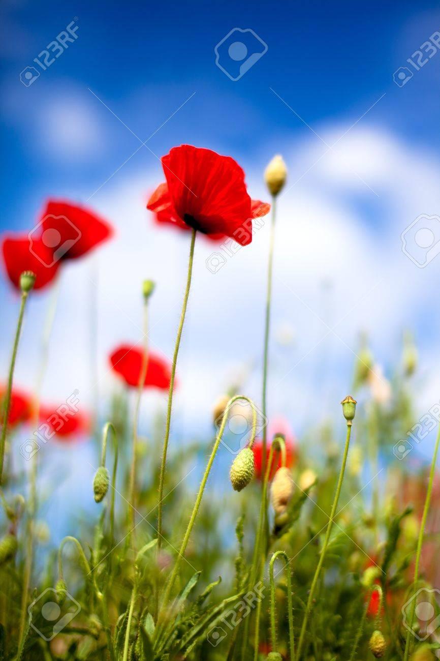 Field of Corn Poppy Flowers Papaver rhoeas in Spring Stock Photo - 7135059