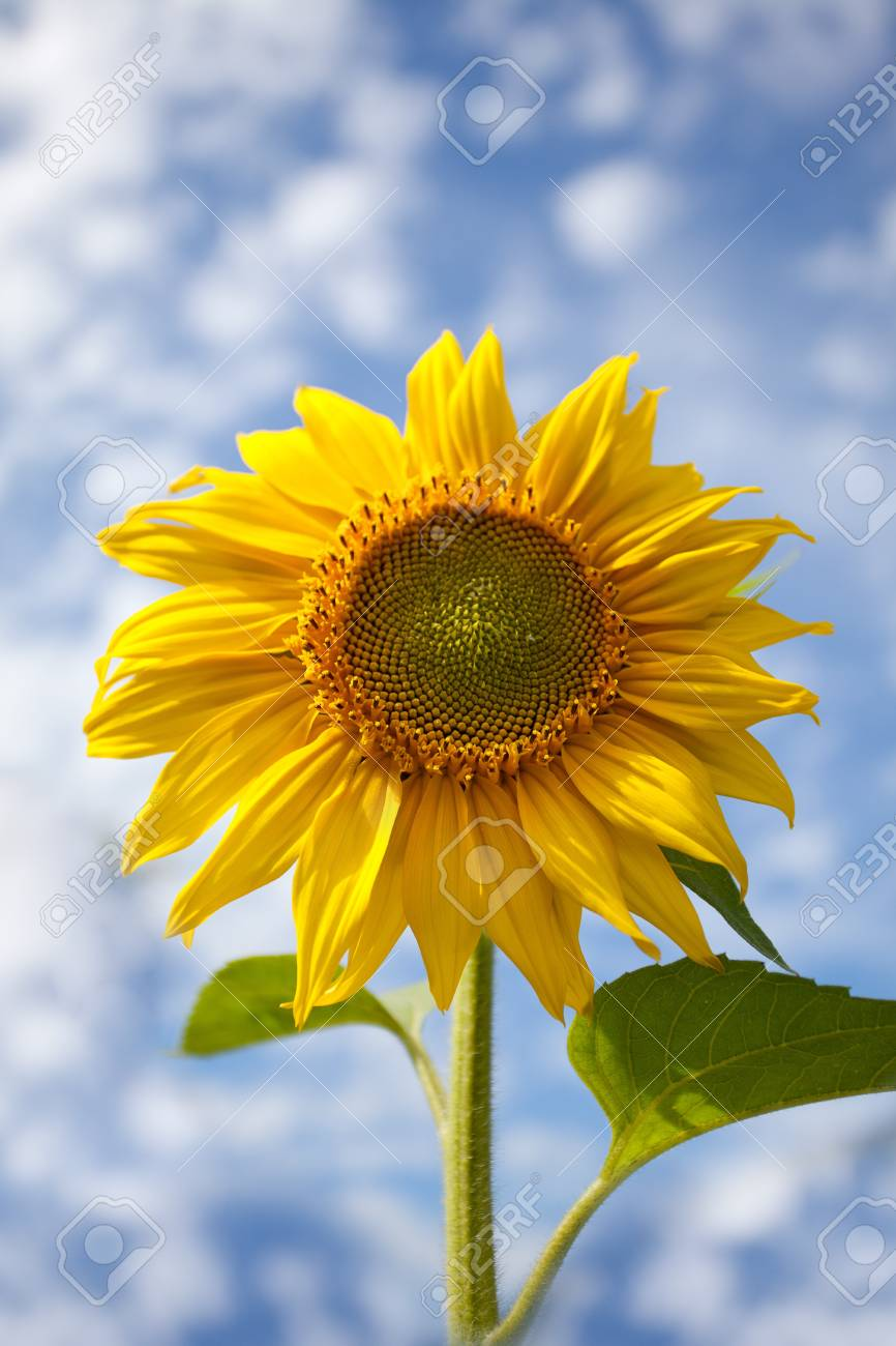 Sunflowers shot against blue sky with small clouds in summer Stock Photo - 7848615