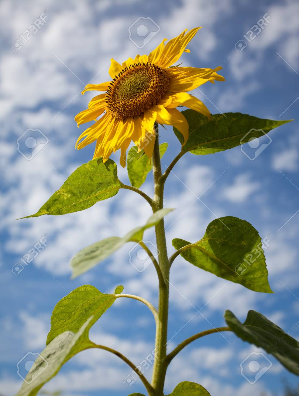 Sunflowers shot against blue sky with small clouds in summer Stock Photo - 7848613