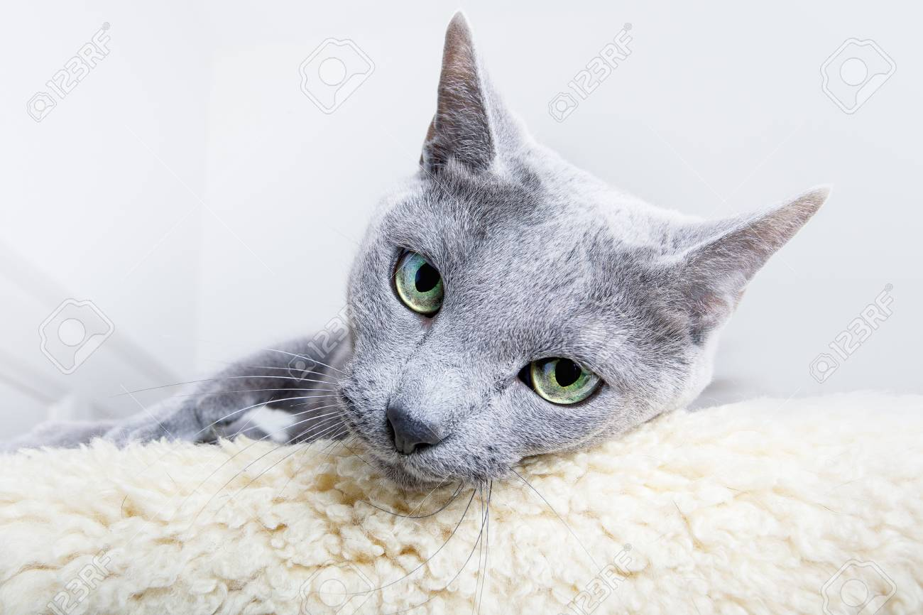 Studio Portrait of a russian blue cat Stock Photo - 8137215