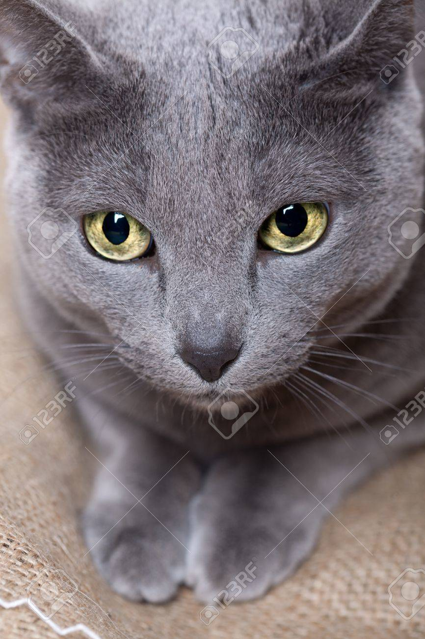 Portrait A Purebred Russian Blue Cat Stock Picture And