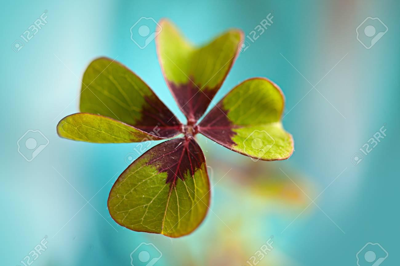 Closeup of single fresh four-leaved clover plant Stock Photo - 8808858