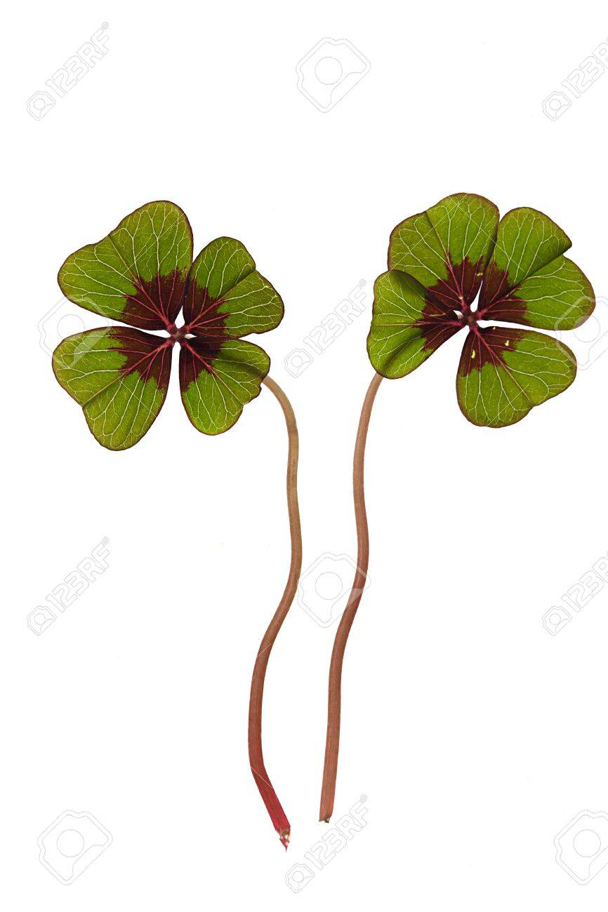 Closeup of green four leaved clover plants on white Stock Photo - 8808871