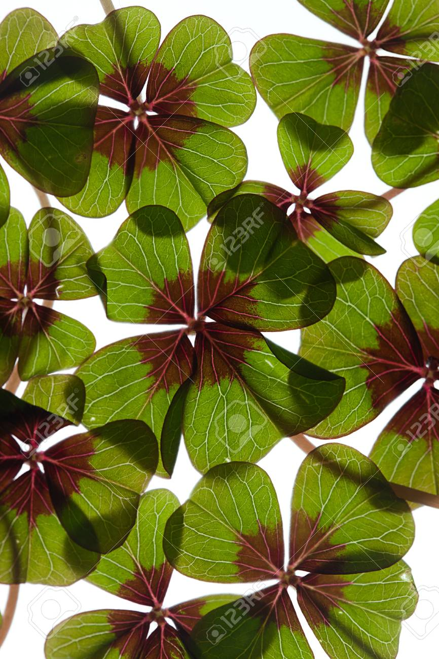 Closeup of green four leaved clover plants on white Stock Photo - 8809087