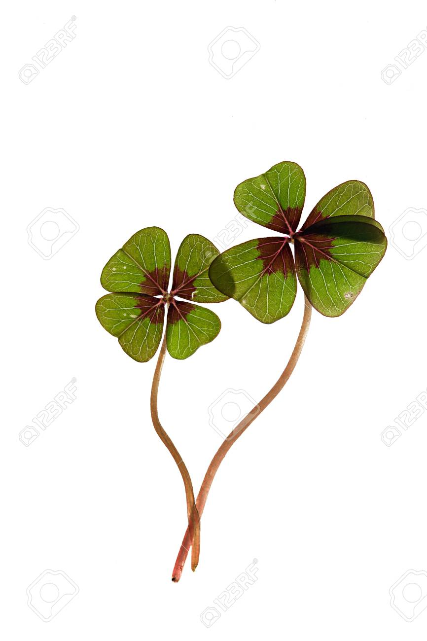 Closeup of green four leaved clover plants on white Stock Photo - 8808869