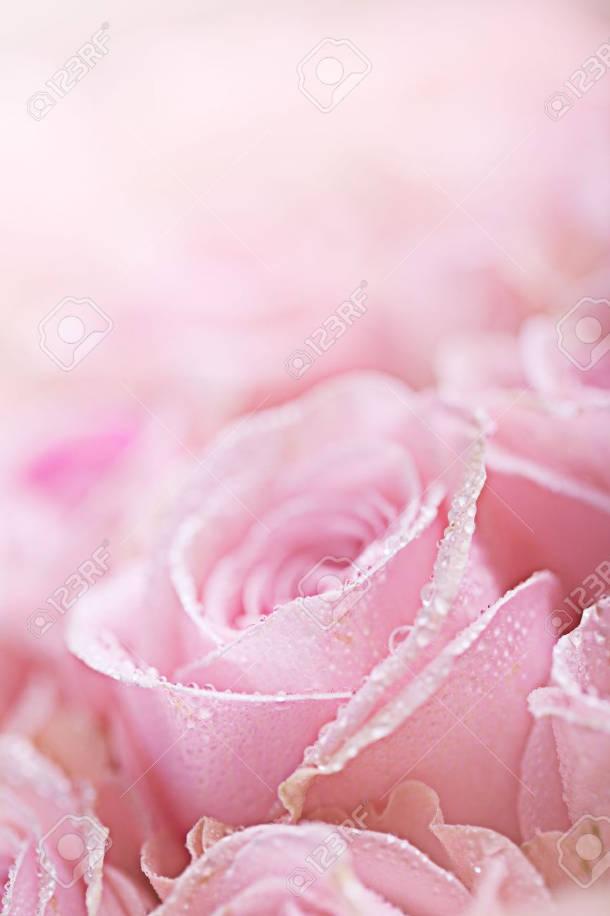 Close-Up of pastel colored pink Roses with Dewdrops Stock Photo - 9708398