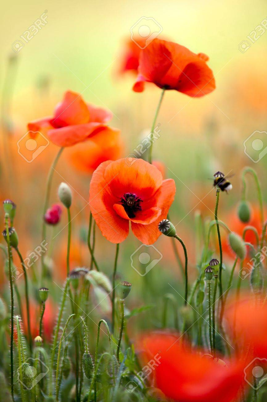 Field of corn poppy flowers papaver rhoeas in spring stock photo field of corn poppy flowers papaver rhoeas in spring stock photo 9809577 mightylinksfo