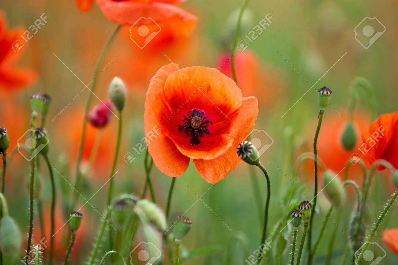 Poppy flower field at night royalty free stock photography image - Field Of Corn Poppy Flowers Papaver Rhoeas In Spring