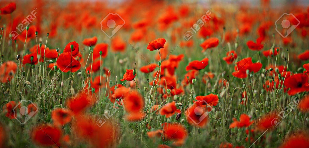 Poppy flower field at night royalty free stock photography image - Field Of Red Corn Poppy Flowers In Early Summer