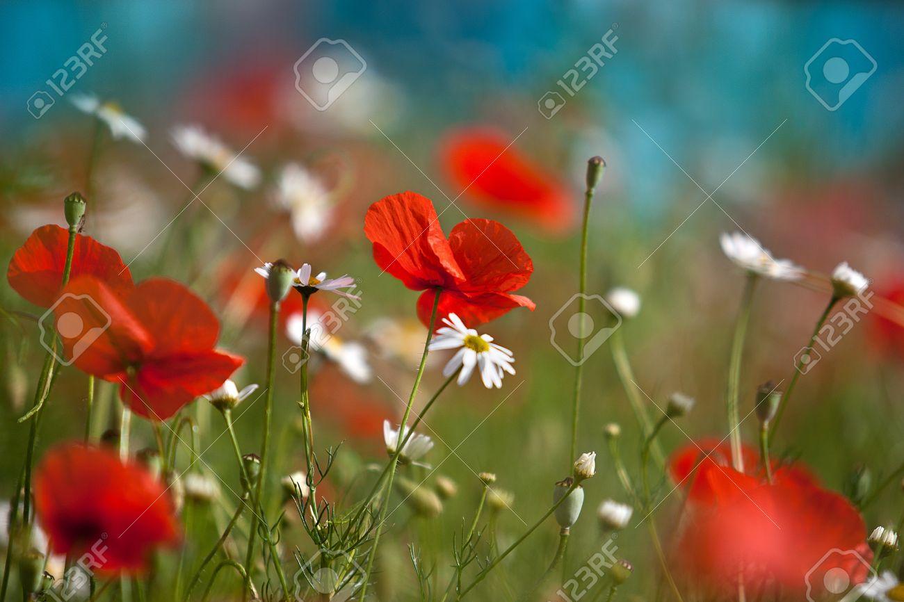 Field of red corn poppy flowers in early summer Stock Photo - 10508328