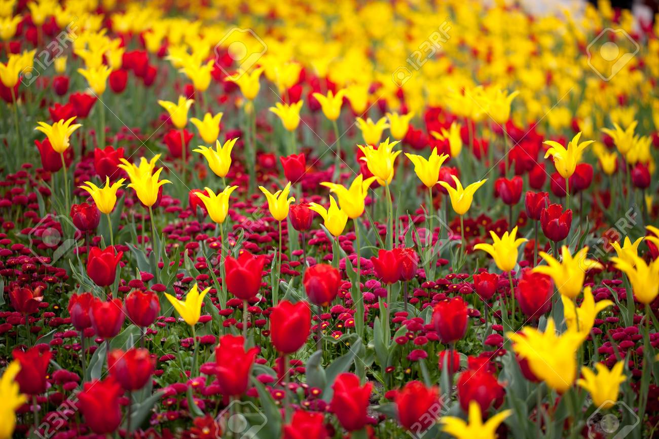 Brillantes Colores Rojo Y Amarillo Flores De Tulipán En Primavera Fotos Retratos Imágenes Y Fotografía De Archivo Libres De Derecho Image 11299295