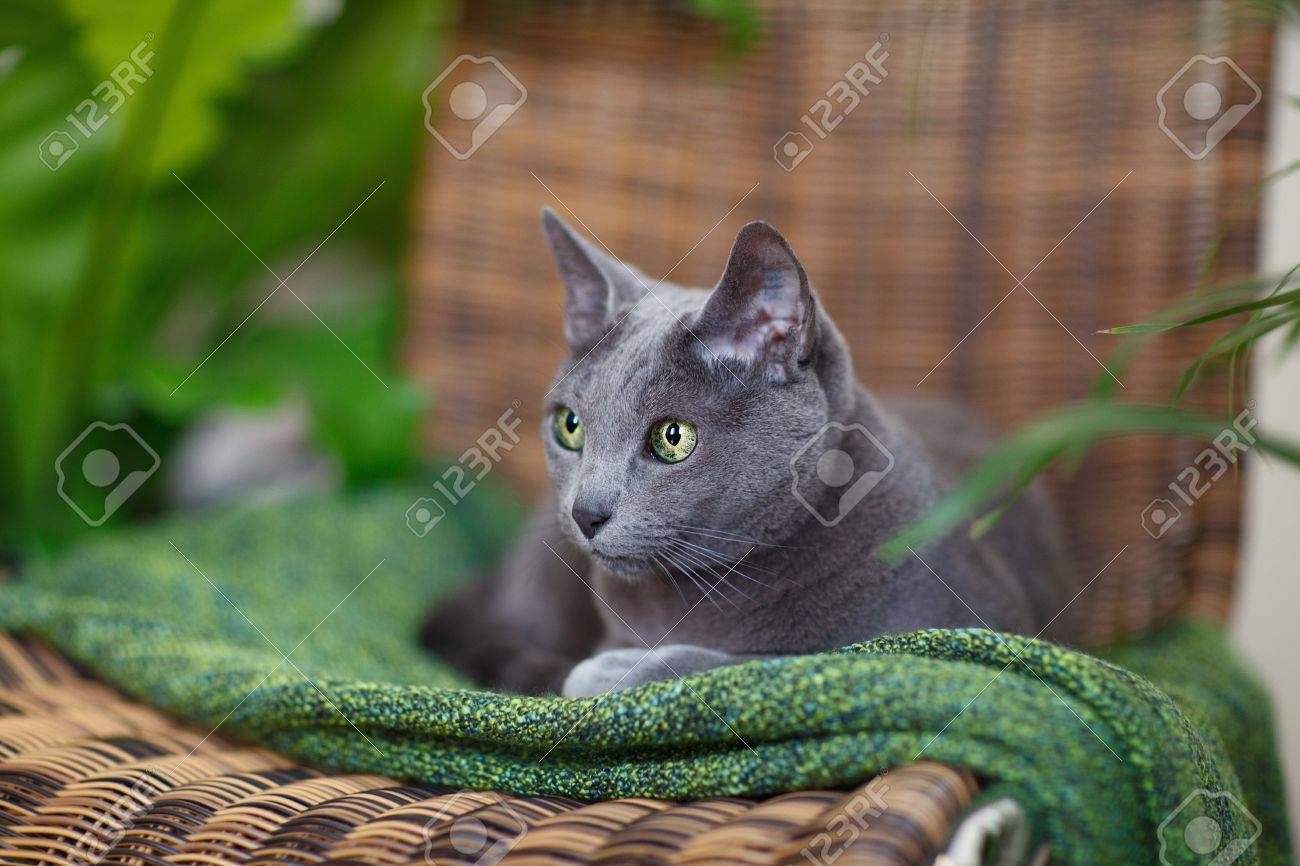 Purebred Russian Blue Cat Lying Green Woolen Cloth Stock