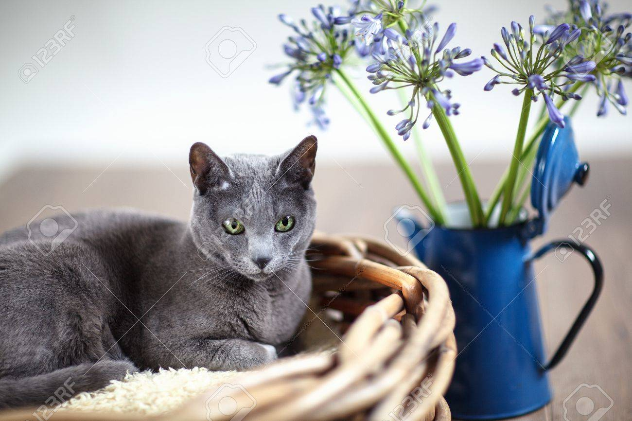 Purebred Russian Blue Cat In Wickerbasket With Blue Flowers Stock