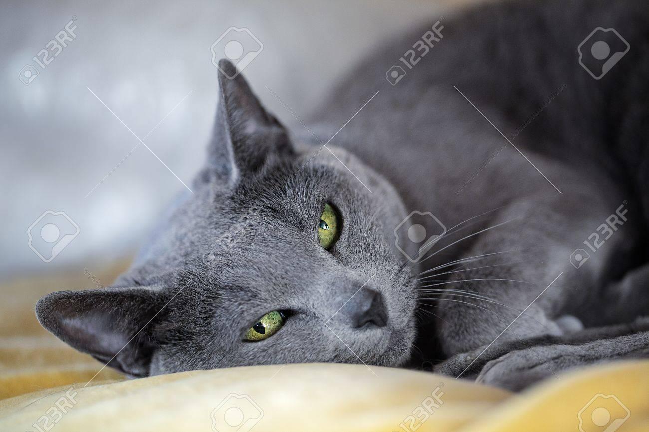 Studio Portrait An Elegant Purebred Russian Blue Cat Stock