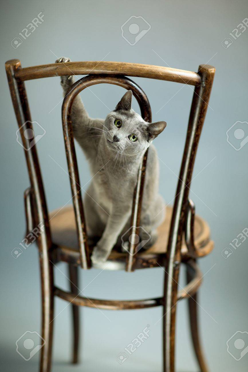 Studio Portrait of a elegant and beautiful purebred Russian Blue Cat on antique wooden Chair Stock Photo - 18889824